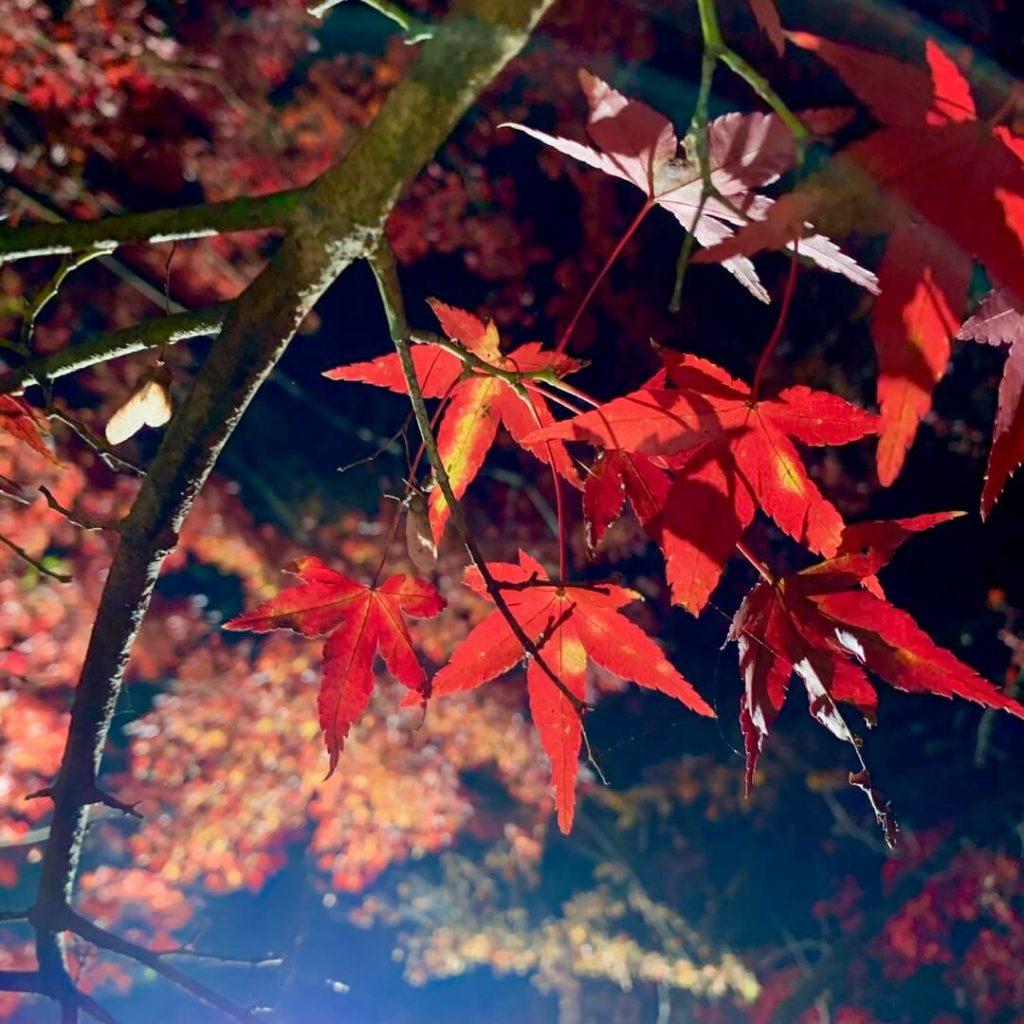 曽木の滝公園もみじ祭り もみじのライトアップ
