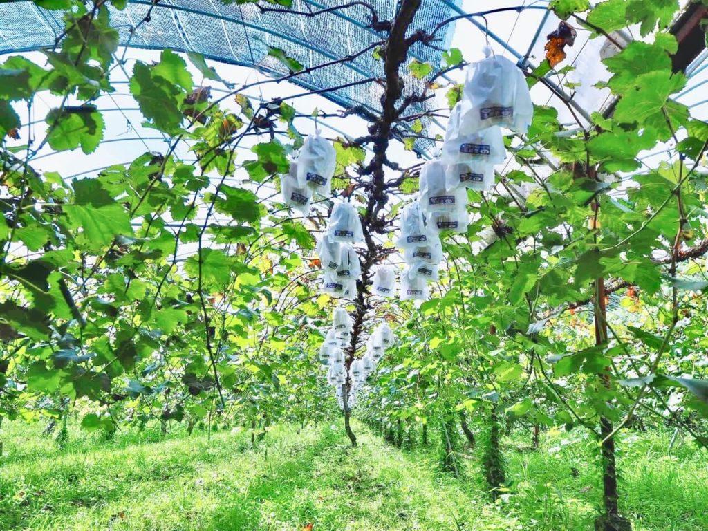伊佐市 下小園ぶどう園 ぶどうの木
