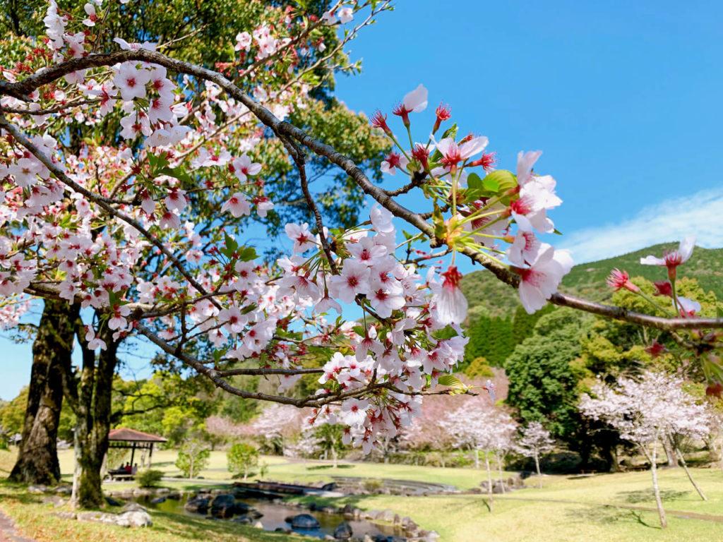 十曽池公園桜
