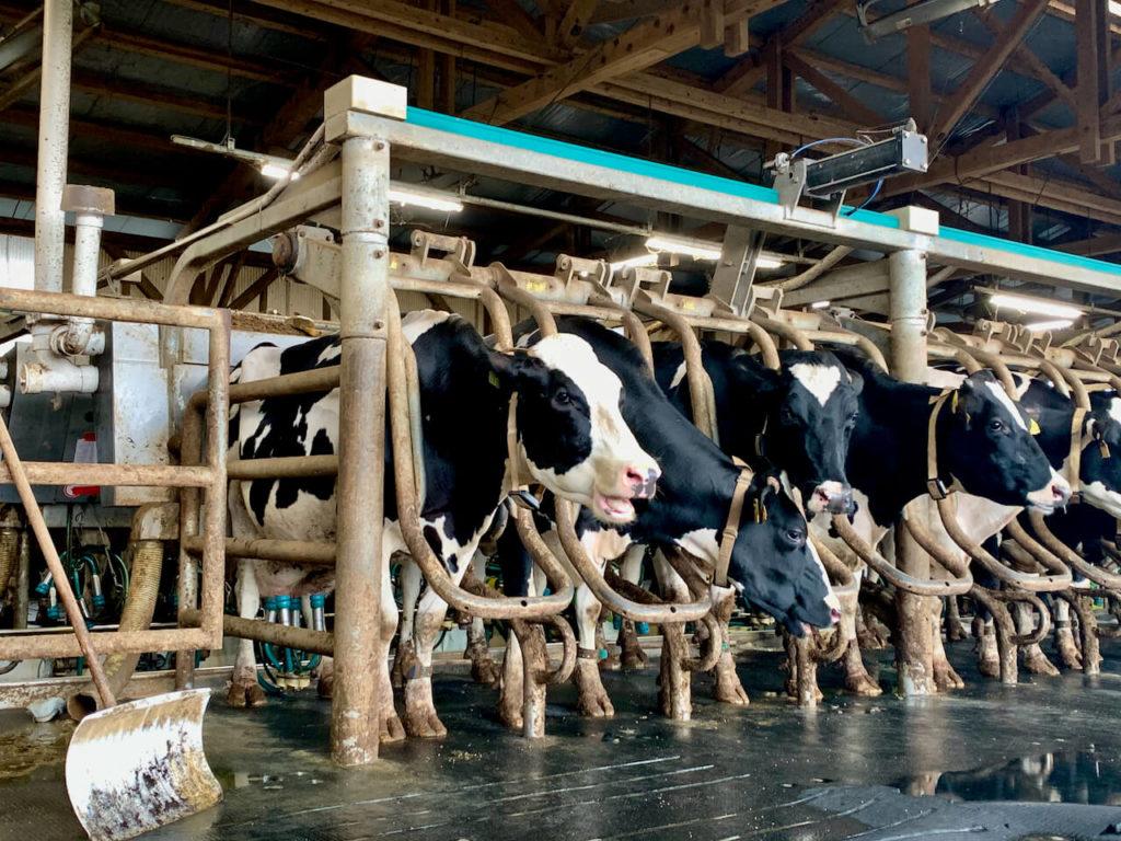 搾乳機が付けられた牛