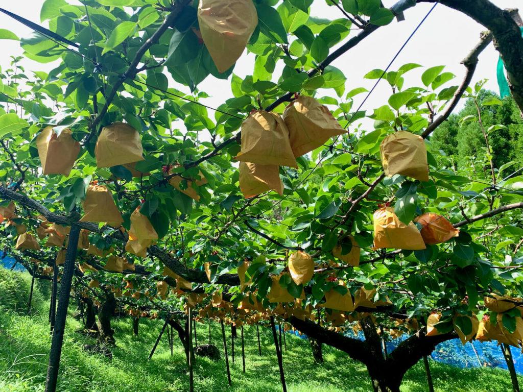浜田梨園の梨