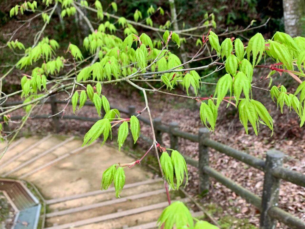 曽木の滝公園の紅葉の新芽