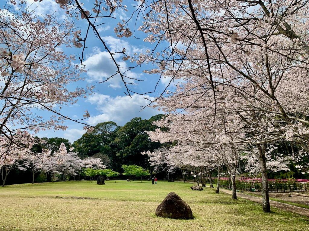 曽木発電所遺構展望駐車場の桜