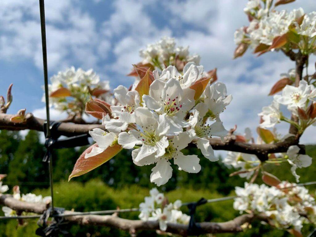 浜田梨園 梨の花